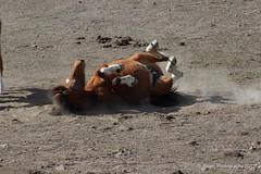 Mustang(s) Virginia Range Nevada (dinaboyer) Tags: nevada wildhorses mustangs virginiarange photographerdinaboyer