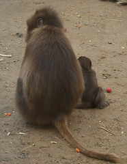 Gelada Baboon and Baby.jpg (Colby Cash) Tags: animal photo baboon colchesterzoo geladababoon