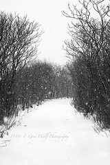 Sumac Walk (D & E Grey Wolf Photography) Tags: winter blackandwhite ontario canada tree nature snowshoe path snowstorm sumac midland wyemarsh