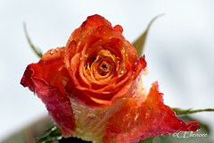 Rose (2) (Ellenore56) Tags: light orange inspiration color colour detail macro reflection love floral rose diamonds licht amber photo flora focus foto treasure emotion affection blossom magic explorer perspective drop diamond explore souvenir honey memory bloom vista droplet imagination outlook moment remembrance reminder sparkler makro blte magical farbe reflexion liebe flowerpower perspektive reflektion tropfen no5 erinnerung dud diamant augenblick memoriam fokus florescence floribunda affinity retrospection trpfchen faszination diamanten explored bltenzauber orangecoloured edelrose orangecolored orangefarben sonya350 ellenore56 rememberthatmomentlevel1 16032013