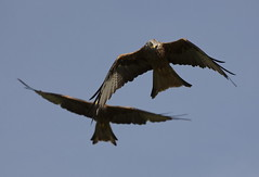 i spy dinner!!!  c jones (carl jones 71) Tags: red kite llanddeusant canon50d sigma170500mm carljones71