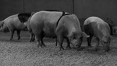 Cerdos engullendo la península Ibérica Santiago Sierra © 2013