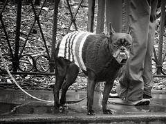 Pioneer Square / Seattle, Washington / March, 2013 (STREET MASTER) Tags: seattle dog cute dogs window puppy sweater sam sweet streetphotography pup pioneersquare streetphotographer streetcandid seattlewashington streetmaster wwwchrisricheycom christopherricheyphotography chrisricheyphotography streetcandiddallastexas