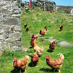"Inishbofin Hens <a style=""margin-left:10px; font-size:0.8em;"" href=""http://www.flickr.com/photos/89335711@N00/8595104835/"" target=""_blank"">@flickr</a>"