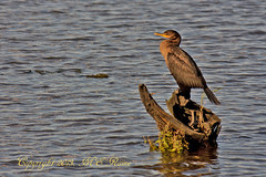 Cormorant (Double-Crested) at Mill Creek Marsh in Secaucus NJ (Meadowlands) (takegoro) Tags: birds creek cormorant doublecrested marsh nature wildlife meadowlands mill nj secaucus