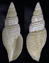 MOL_ 2646_M_cf_straminea_2646_01_276x351.gif (MaKuriwa) Tags: mollusca gastropoda neogastropoda mitridae mitra