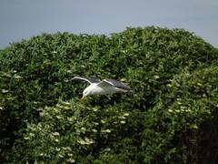 Black Back gull (stuartcroy) Tags: orkney island blackbackedgull green gull beautiful bird scotland scenery sky