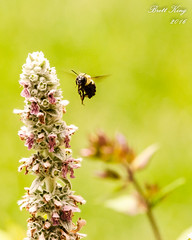 Beauty and the Bee! (explored  7-26-16) (dbking2162) Tags: flowers flower plants nature wildlife insects outdoor indiana bee