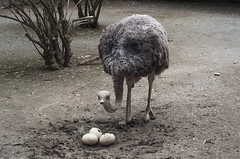 Giovane struzzo (querin.rene) Tags: renéquerin qdesign parcolecornelle parcofaunistico lecornelle animali animals struzzo uovo
