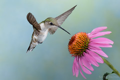 Ruby-throated Hummingbird w/ Cone Flower (2016-07-17 6931) (bechtelsf) Tags: nikon d810 nikon80400mm hummingbird rubythroated bird animal nature wildlife wing inflight flying flower summer ohio