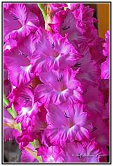 Nature - Flowers - The Beautiful Colour and Design go the Gladiola Flower. (Bill E2011) Tags: nature flowers gladiola gladiolas beauty colour design magnificent delicatecanon macro