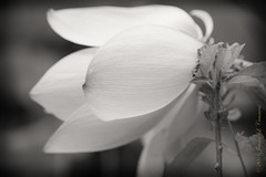 Lotus Blossom (J.Lynn Photography) Tags: washington dc kenilworth aquatic cummins family lilies nps national park fkag nationalparkservice washingtondc waterlilies kenilworthaquaticgardens waterlillies