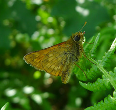 Large Skipper underside (gailhampshire) Tags: large skipper underside