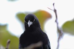 Who you looking at? (Celticearthxoxo) Tags: cuba cuban country countryside animals birds blackbird didnotlikeme photography 2015 vacation stareofdeath canonrebelt3i eos600d canon camera canoncamera downsouth