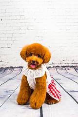 MATCHA LOW-14 (Michiez Chua Petography) Tags: poodle toypoodle singaporedog singapore redpoodle cute dog dogs canon 35mm studio studioshoot dogshoot