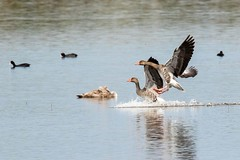 Graugnse / grey goose (minPx) Tags: goose gans landung landing wings lake pair paar flgel