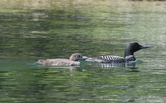 Mama and baby loon7 (rogue0075) Tags: bluesea cottage
