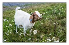 Portrait of Boer Goat # 40005 With Thistle Flower (Eline Lyng) Tags: portrait boer goat boergoat animal farm farmanimal flowers animalportrait leica leicas 007 summarits70mm 70mm summarit mediumformat