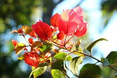 morning bokeh (Gillian Everett) Tags: 50mm flower queensland bougainvillea bokeh winter sooc
