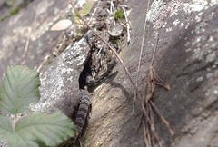 Neonate Timber Rattlesnake (commercialam3n) Tags: snake snakes timber rattlesnake copperhead crotalus horridus field herping herpetology 50 mm macro canon 6d zeiss planar makro reptile nature hiking mountain georgia