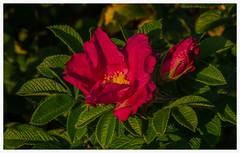 Beach roses (frankmh) Tags: plant flower rose beach hittarp skne sweden outdoor