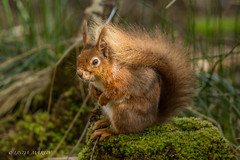 Red Squirrel (Linda Martin Photography) Tags: redsquirrel dorset brownseaisland canon5dmarklll wildlife nt uk nature coth sciurus vulgaris ngc