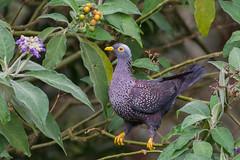 African Olive Pigeon (Columba arquatrix) (Brendon White) Tags: africanolivepigeon columbaarquatrix george westerncape gardenroute southafrica bird nature rameronpigeon nikon d7100