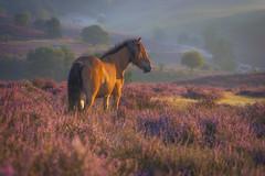 Icelandic horse (Shots in the dark) Tags: color light morning heather heath horse icelandic depth netherlands posbank sunrise colour nikon d7100 hills