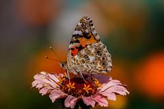 Diestelfalter (grzegorzmielczarek) Tags: blume butterfly distelfalter edelfalter garten macro natur schmetterling vanessacarudi paintedlady