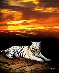 White Bengal Tiger at Sunset (Lanzarote) (caren (Thanks for 1 Million+ views)) Tags: whitebengaltiger weisserbengalischertiger pantheratigris ranchotexasparklanzarote sunset lanzarote spanien animal trip holiday amazing sunshine shadow magicmoments