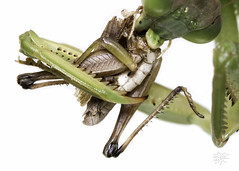 20160911 PSU Great Insect Fair-3 (Frost Museum) Tags: greatinsectfair psu entomology outreach isa betancourt isabelle september 2016 insects pennstateuniversity macrophotography insect photography grasshopper nom praying mantis mantid mantodea
