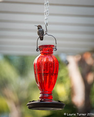 -20160818Summer Fun48 (Laurie2123) Tags: laurieturner laurieturnerphotography backyard hummer hummingbird laurie2123 ourdailychallenge odc2 odc2016 cmwd cmwdred