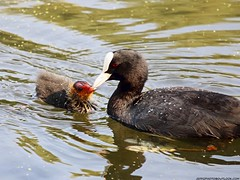 Coot feeding its chick (Fulica atra) (Jeff G Photo - 2m+ views! - jeffgphoto@outlook.com) Tags: regentspark coot fulicaatra chick water waterfowl