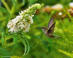 Flying Hummingbird (PhotoCity.CA) Tags: hummingbird inflight flying flower field garden color canada closeup green smallestbird birds bokeh