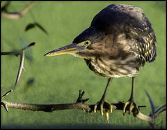 green heron (Christian Hunold) Tags: greenheron heron bird grnreiher johnheinznwr philadelphia bokeh christianhunold