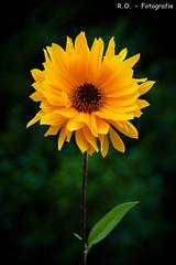 Sonnenblume / Sunflower (R.O. - Fotografie) Tags: sonnenblume sunflower flower blume gelb yellow grn green natur nature outdoor panasonic lumix dmcfz1000 dmc fz1000 fz 1000 bokeh closeup close up