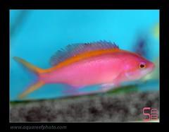 AMBpseudanthias-tuka-female4294_190314 (kactusficus) Tags: aquarium reef trade marine pseudanthias tuka anthias anthiinae serranidae pink female