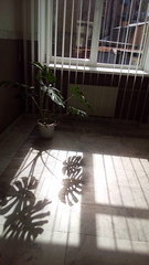 201/365 Monstera (zinushana) Tags: projectlife project project365 flower shadow light  365