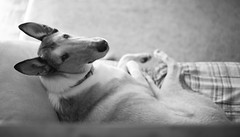 Office Mate (kecotting) Tags: dog collie smoothcollie working office animal pet perspective canon bw littledoglaughedstories littledoglaughednoiret