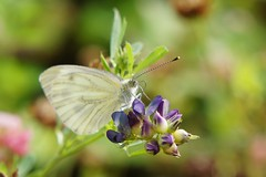 Капустница / Kohlweißling / Cabbage White Butterfly (roman.chukanov) Tags: butterfly macro schmetterling makro nofilter insect insects summer sommer sonynex