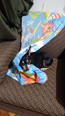 Fifi (gus909) Tags: fifi cachorro dog cachorra cadela pet animal estimao
