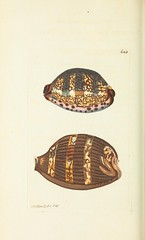 n77_w1150 (BioDivLibrary) Tags: animals pictorialworks museumvictoria bhl:page=40521195 dc:identifier=httpbiodiversitylibraryorgpage40521195 shaw shell mollusca gastropoda mollusk gastropod artist:name=richardpolydorenodder artist:viaf=95877117 georgeshaw taxonomy:binomial=cypraeafragilis taxonomy:binomial=mauritiaarabica taxonomy:common=arabiancowry taxonomy:common=brittlecowry taxonomy:binomial=cypraeaarabica shells marineinvertebrates histsciart