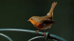 Redbreast - rouge gorge (Franck Zumella) Tags: redbreast robin red bird rouge gorge rougegorge wildlife