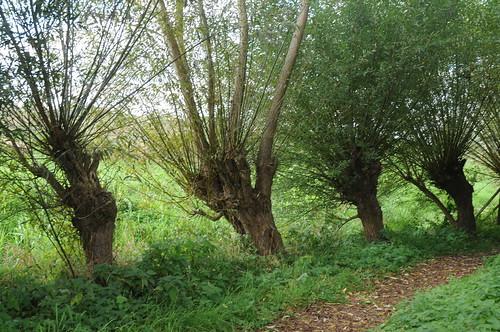 Bäume - Kopfweiden in den Rieselfeldern; Münster, Gimbte (22)