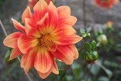 IMG_4576 (ianharrywebb) Tags: edinburgh iansdigitalphotos royalbotanicgardens flowers flower