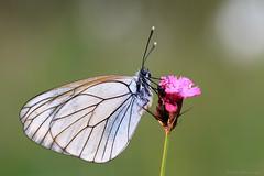 Sleepy, Dewy Morning (ildikólaskay) Tags: insecte insekt rovar butterfly schmetterling falter papillion lepke aporiacrataegi blackveinedwhite baumweisling gazé piéridedelaubépine galagonyalepke hungary farfalla mariposa