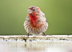 House Finch -- Male (Carpodacus mexicanus); Tucson, AZ, Tohono Chul Park [Lou Feltz] (deserttoad) Tags: nature arizona bird wildbird wildlife behavior fauna songbird finch tree park water reflectio