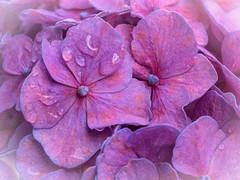 hydrangea (++sepp++) Tags: garten natur pflanzen regentropfen graben bayern deutschland de hortensie raindrops makro makroaufnahme macro macroshot blte blossom plants blume flower