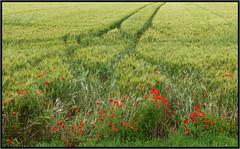 Coquelicots en premire ligne - Poppies on the front line - (diaph76) Tags: france vert green extrieur paysage landscape coquelicots poppies lignes champs fields culture fleurs flowers bl corn