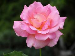 DSC00653 (gregnboutz) Tags: flower bloomingflowers bloomingflower brightflowers colorfulflower colorfulflowers macro macros colorfulmacro colorfulmacros macroflower macroflowers macroroses macrorose pink pinkflower pinkflowers pinkroses pinkrose
